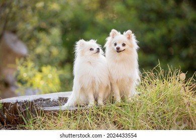 Two cute white long-haired chihuahua dogs in the forest. Lots of green. Adorable and sweet. Sitting on a log.