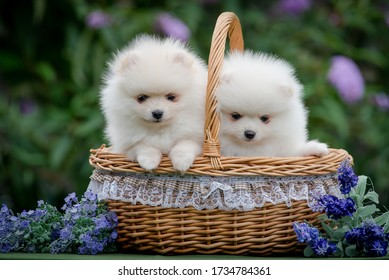 two cute white puppies of the breed Pomeranian or that Spitz are sitting together in a basket