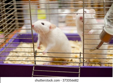 Two cute white rats in a cage