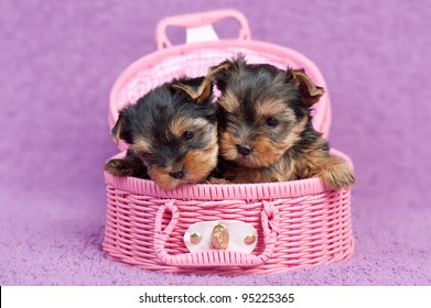 Two cute yorkshire terrier puppies in a pink basket, on purple background