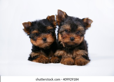 Two cute Yorkshire Terrier puppy lying on a white background