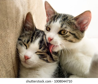 Two cute young cat kittens, European Shorthair tabby with white, faces side by side, fondly grooming, a social behaviour