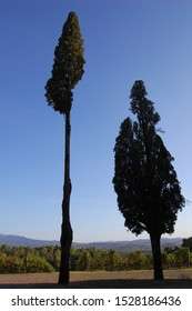 two cypresses isolated in foreground and the landscape of Tuscany countryside and vineyards in Montalcino area in the background with a clear blue sky and the warm light of September vertical photo