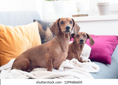 Two dachshund dogs indoor on sofa cusions and plaid comfortable home