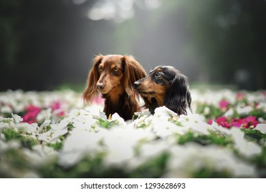 Two dachshund dogs sitting in the flowers.