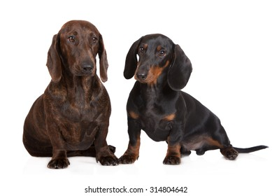 two dachshund dogs together on white