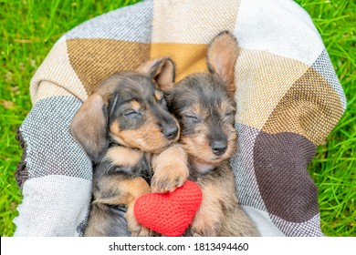 Two dachshund puppies lie inside basket on green grass and hug red heart. Top down view