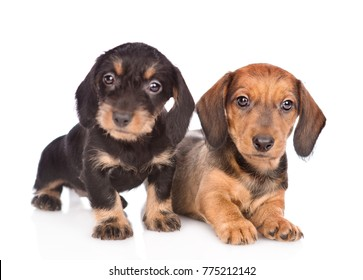Two Dachshund puppies looking at camera. isolated on white background