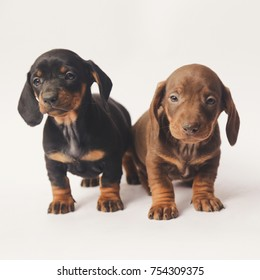 Two Dachshund puppies on white background