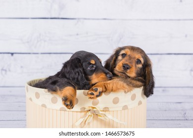 Two dachshund puppies playing in the box, 1 month old