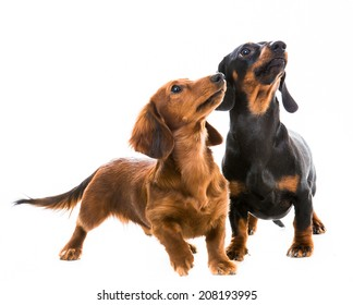 two dachshunds playing on white background