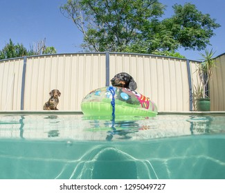 Two Dachshunds playing together in a out door swimming pool