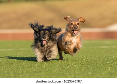 Two dachshunds running joyously in the sunlight