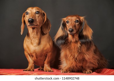 two dachshunds, short-haired and long-haired together in the studio