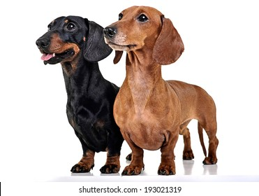 Two Dachshunds staying in the white studio floor