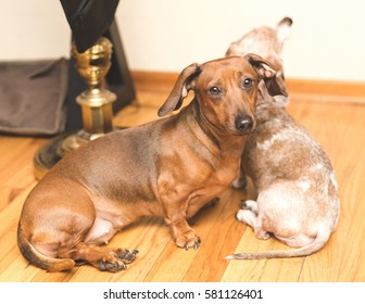 Two dachsunds sitting on wood floor in modern home. One dog is looking at the camera; the other dog is sitting down and looking away.