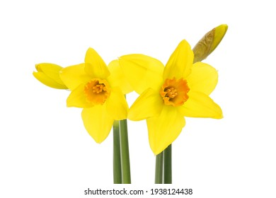 Two daffodil flowers and flower buds isolated against white