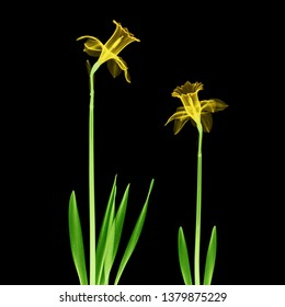Two daffodil flowers X-ray - colorized on black.