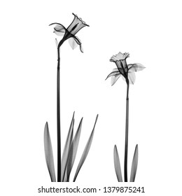 Two daffodil flowers X-ray - monochrome on white.