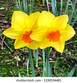 Two daffodils in garden