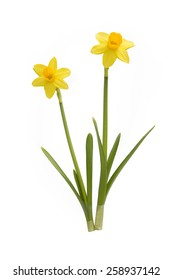 two daffodils isolated on white background
