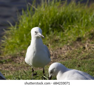Two dainty white  seagull seabird of the family Laridae in sub-order Lari  standing on the green grass after preening itself at Big Swamp, Bunbury, Western Australia on a sunny afternoon in winter.