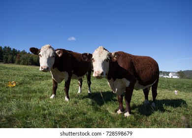 Two dairy cows in a farm field.