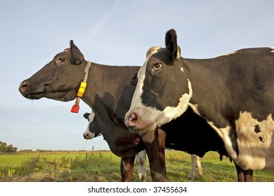 Two dairy cows standing together in the grass against the blue sky