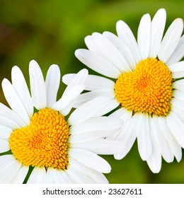 Two daisies with heart in center