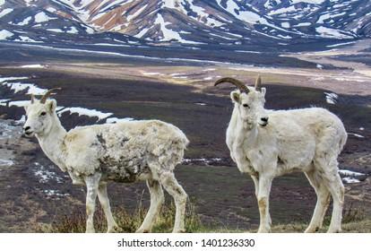 Two Dall Sheep in Denali National Park in Alaska.