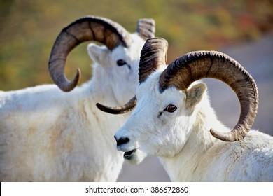 Two Dall's sheep in Denali national Park Alaska