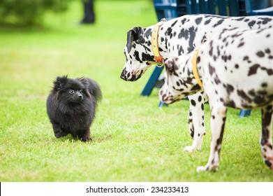 Two dalmatian dogs going to black miniature spitz