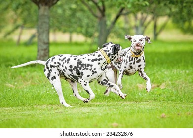 Two dalmatian dogs playing