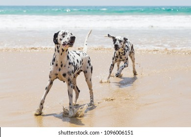 Two Dalmatians play on the beach. Happy Dalmatians playing with coconut on the beach. Happy Dog