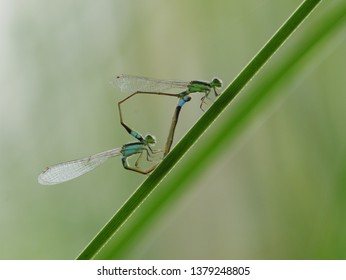 Two damselflies are mating. Damselflies are insects of the suborder Zygoptera in the order Odonata.