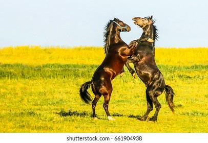 Two dancing horses in field