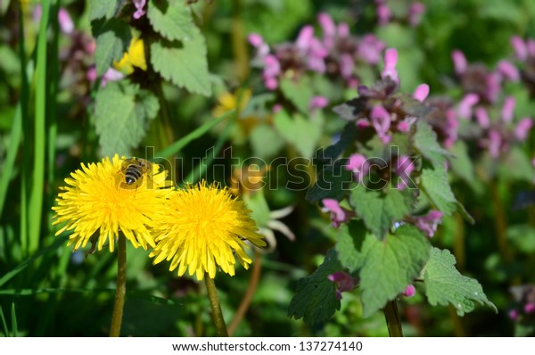 Two Dandelions and Bee