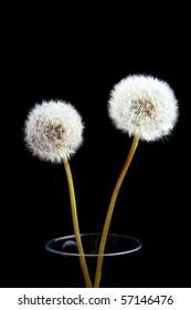 Two dandelions in a vase