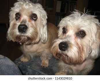 Two dandie dinmont terriers are craving  for attention