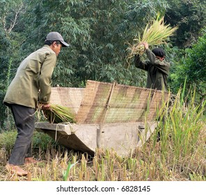 Two Dao people harvesting rice in the North of Vietnam