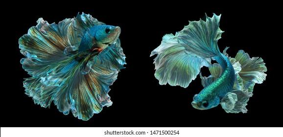 "Two Dark green betta fish ""Fancy Halfmoon Betta"" The moving moment beautiful of Siamese Fighting fish in Thailand. Betta splendens Pla-kad, Rhythmic of Betta fish isolated on black backgrou"