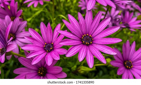 Two dark pink osteospermum between flowers