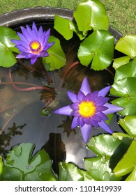 Two dark purple water lily flower in a small pond with green leaves around on a sunny day