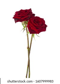 Two dark red Roses isolated on white background.