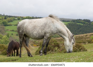 Two Dartmoor ponies on Dartmoor