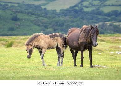 Two Dartmoor ponies on a green meadow. The mare is pregnant. Dartmoor National Park. Devon. England