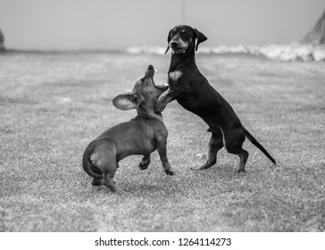 Two Daschund dogs playing