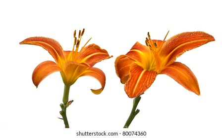 Two Day Lily Flowers Isolated on White