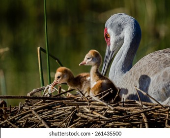 Two day old sandhill crane chicks with mom