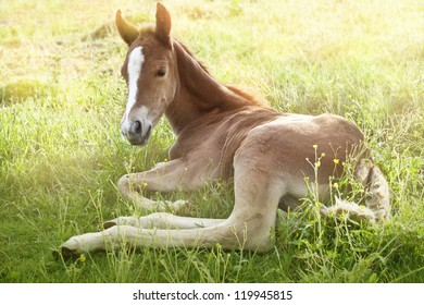 two days old quarter horse foal laying in the morning grass